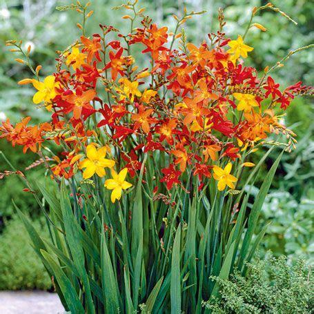 Garten Pflanzen Frühjahr by Garten Montbretien Mischung Sommerbl 252 Pflanzung Im