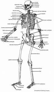 Worksheet Of The Human Skeleton