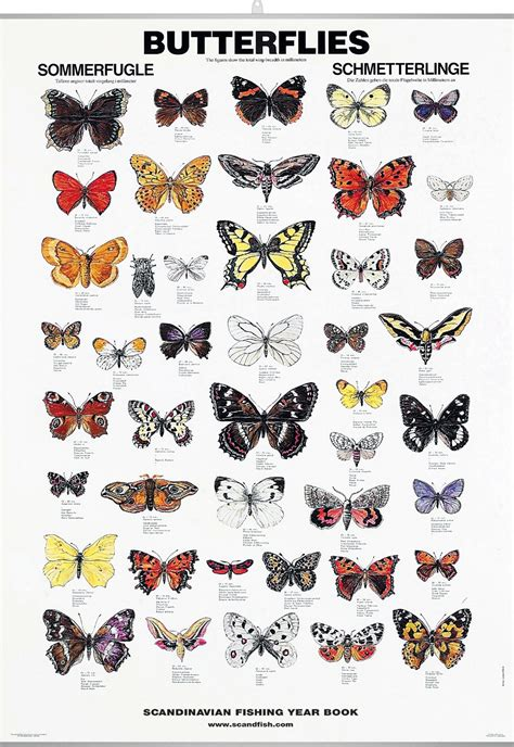 butterfly poster chart   butterfly species