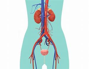 17 Best Images About Excretory System On Pinterest