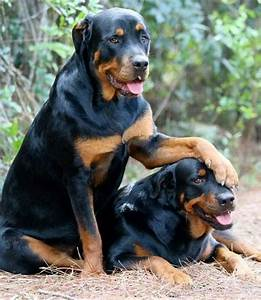 Rottweiler Dog Breed Animal Images Pictures HD Wallpapers