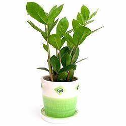 Zimmerpflanzen Für Dunkle Ecken : zamioculcas zamiifolia standort pflege gie en d ngen ~ Michelbontemps.com Haus und Dekorationen