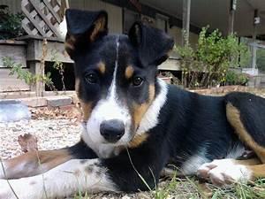 Black Australian Cattle Dog Mix