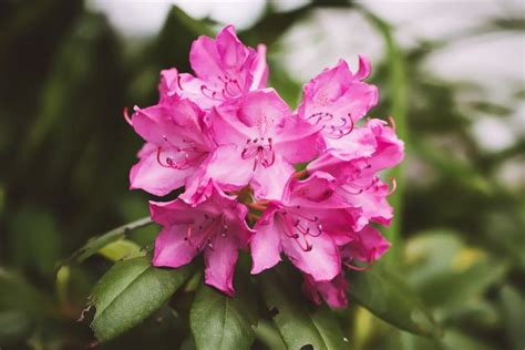 propagating rhododendrons rhododendron care and growing tips old farmer s almanac