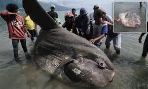 rare ocean sunfish weighing  tons
