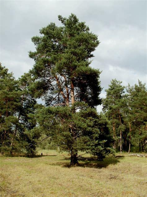Pin Sylvestre (pinus Sylvestris)  Plantation, Culture