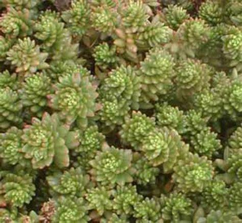 sedum succulent succulents sedum mexicanum
