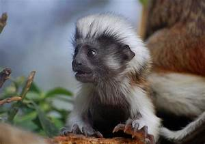 Baby Cotton Top Tamarin at the Marwell Zoo 5