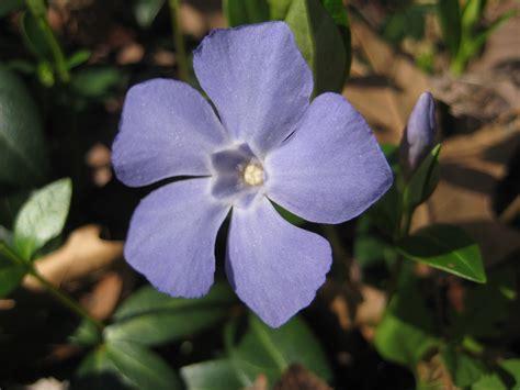 vinca flower file periwinkle flower jpg