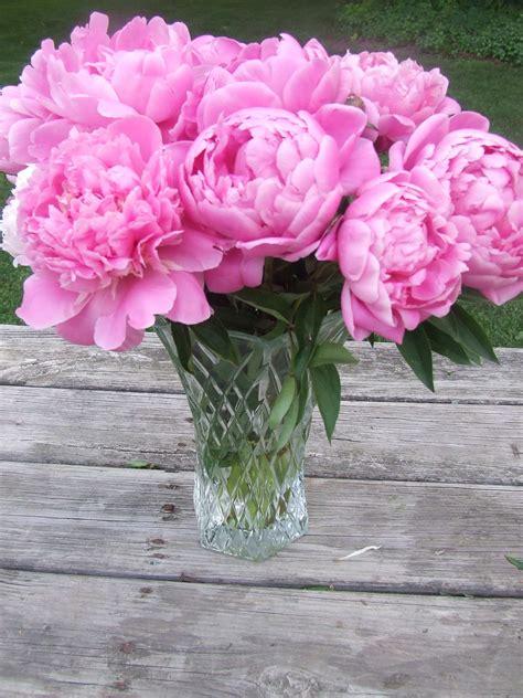 peonies flowers  bloom