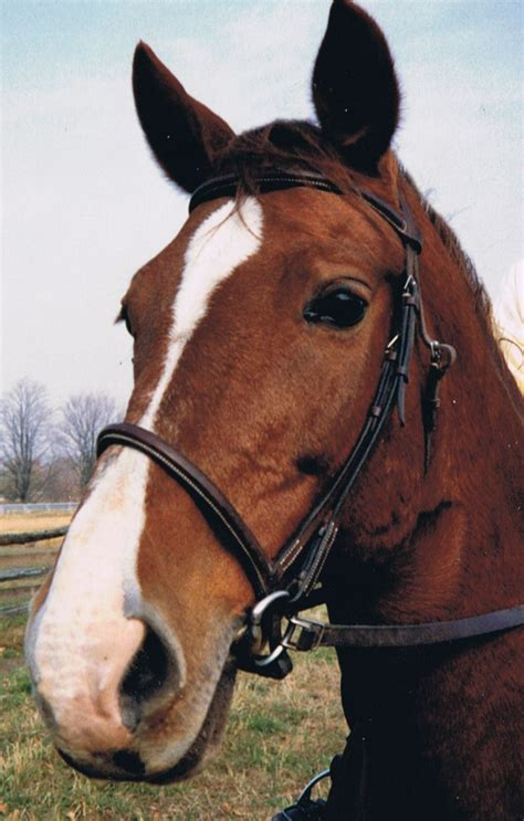 horse quarter cross horses warmblood mo jack uploaded user belgian