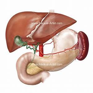 Digestive System Illustrations