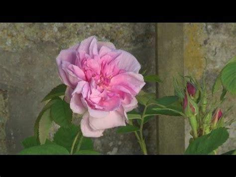 planter un rosier en pot 17 meilleures id 233 es 224 propos de rosier en pot sur arbuste 224 fleurs blanches
