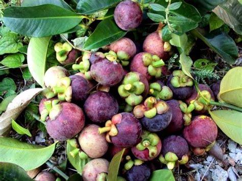 panduan budidaya tanaman buah manggis tips petani