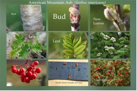 American Mountain Ash