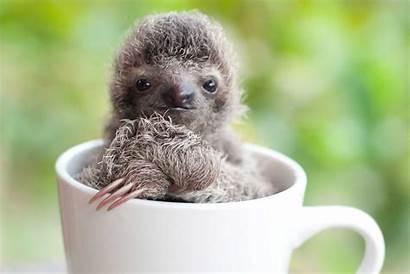 Sloths Sloth Adorable Trull Sam