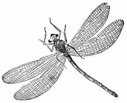 Dragonfly Coloring Pages Printable Graphics Illustrations Fox