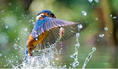 Birds Water Fish Kingfisher Animals Bird King