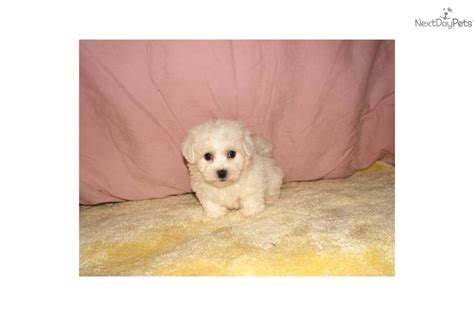 Big Smart Non Shedding Dogs by White Maltipoo Dogs Breeds Picture