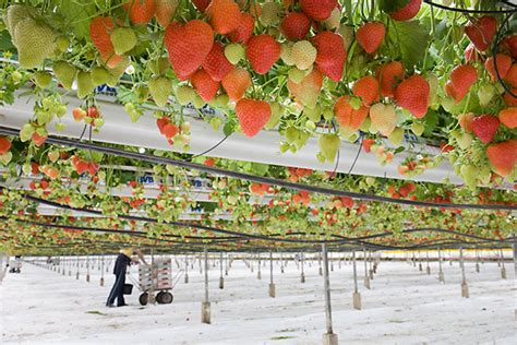 commercial strawberry crop  glass  tabletop system