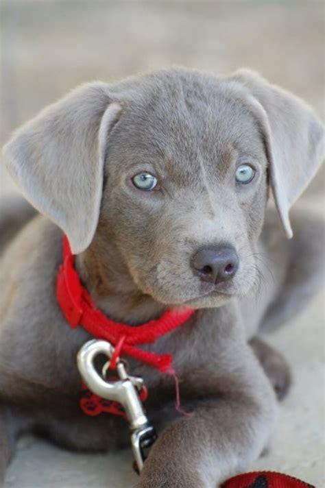 silver labrador photo favethingcom