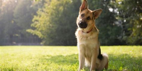darum legt dein hund den kopf schief wenn du mit ihm