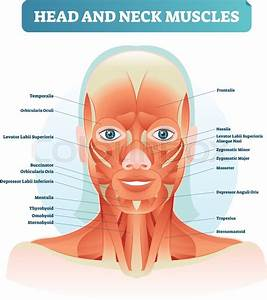 Head And Neck Muscles Labeled