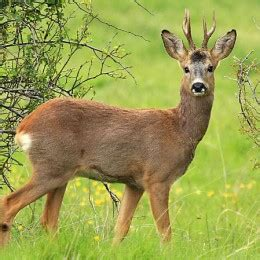 big game hunting species  spain caza hispanica