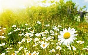 Blumen Im Sommer : kamille blumen wiese sommer jugend in meidling ~ Whattoseeinmadrid.com Haus und Dekorationen