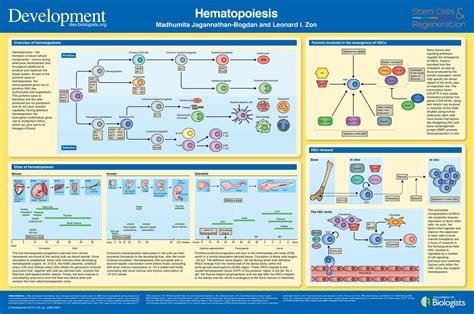 hematopoiesis development