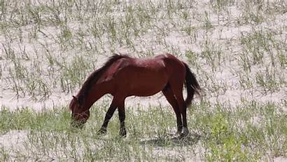 Wild Horses Ezgif Carolina North Beach Carova
