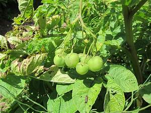 Potato Plant Fruit