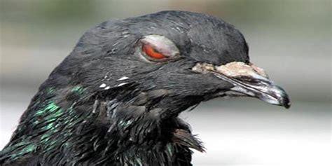 raisons pour lesquelles les pigeons sont les oiseaux de
