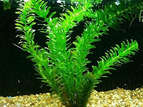anacharis elodea egeria densa  easy  fish aquarium