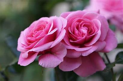 Roses Flowers Rose Closeup Desktop Wallpapers Flower