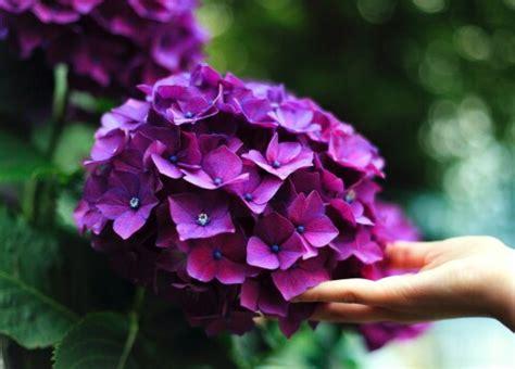 Atmiņas no vasaras: četri veidi, kā sakaltēt rozes ziemai