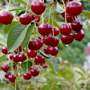 Taille De Cerisier : cerisier bigarreau 39 van 39 taille en gobelet en pot ~ Melissatoandfro.com Idées de Décoration