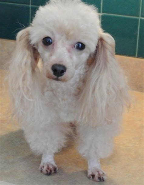 toy poodle   breed