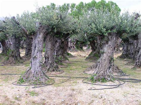 oliviers centenaires 300 ans marseille aix en provence