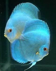 Neon Blue Discus Symphysodon sp