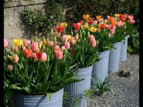 how to grow tulips in pots page 8 of 8 bees and roses