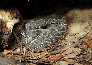 Diagrams Of The Eastern Diamondback Rattlesnake