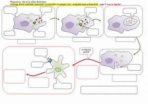 Phagocytose  R U00f4le De La Cellule Dendritique