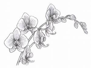 Oriental Orchid pencil study | Plants & gardening ...