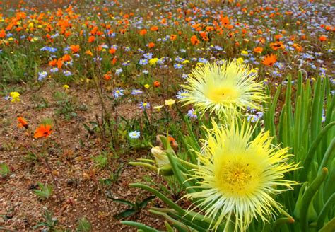 namaqualand flowers africa south wild kleinzee cape flower northern landscape route namakwa kamieskroon wildflowers port towns series destinations tourist attractions