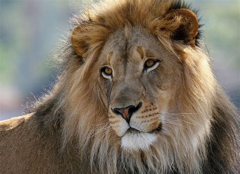 south africa lion killed  beheaded  muti purposes