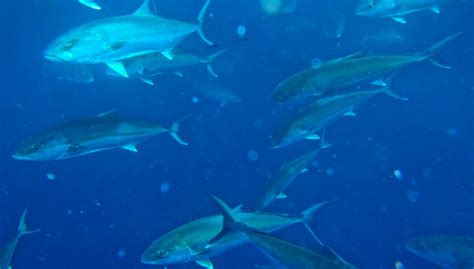 Triggerfish Amberjack Season Reopens Aug1