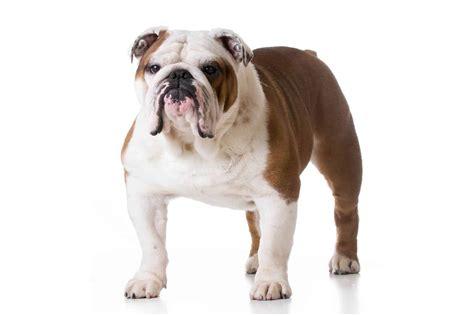 englische bulldogge charakter ernaehrung pflege