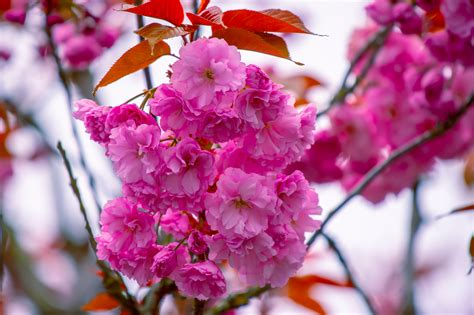 Free Images : flower flowering plant pink petal spring
