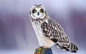 Beautiful owl wallpaper